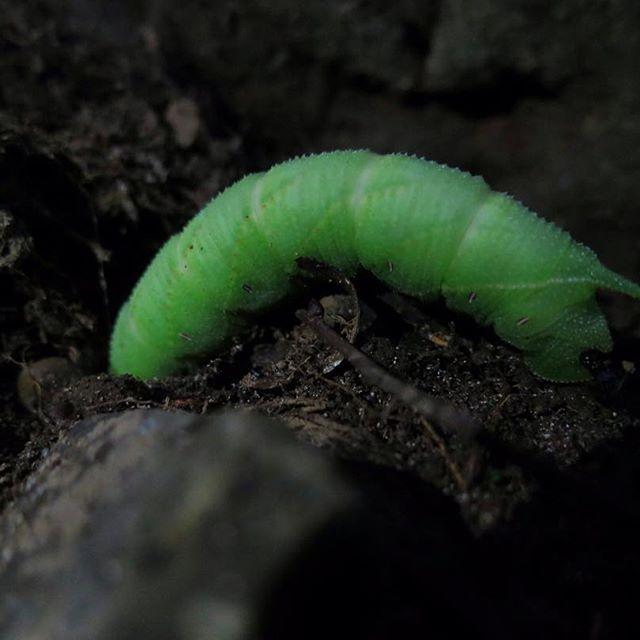 【bokunara】さんのInstagramをピンしています。 《薄暗い森の中。足元でもそもそと動く若葉色。地中で茶色の蛹になります。  11/26(土)神山をきく世界遺産春日山原始林さんぽ 彩編 まだまだ参加者募集中です。 ■お申し込み方法 奈良市観光協会の申し込みページよりお願いします。 http://narashikanko.or.jp/genshirin/  #エコツアー #トレッキング  #自然 #森 #色 #五感で感じる #秋 #キノコ #世界遺産 #春日山原始林 #奈良 #癒し #オーガニック #日本の伝統色 #スズメガ #若葉色》