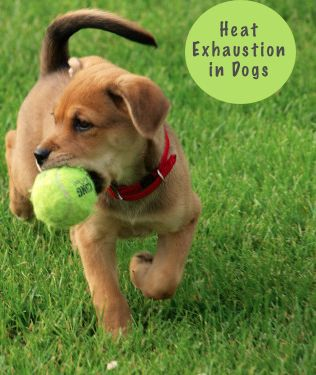 Heat Exhaustion in Dogs: What every dog owner needs to know…