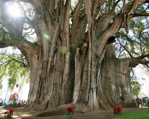 Montezuma Cypress: The Tule Tree  Located in the grounds of a church in Santa María del Tule in the Mexican state of Oaxaca. It measures more than 119 feet around and 116 feet high. About 2,000 years old.