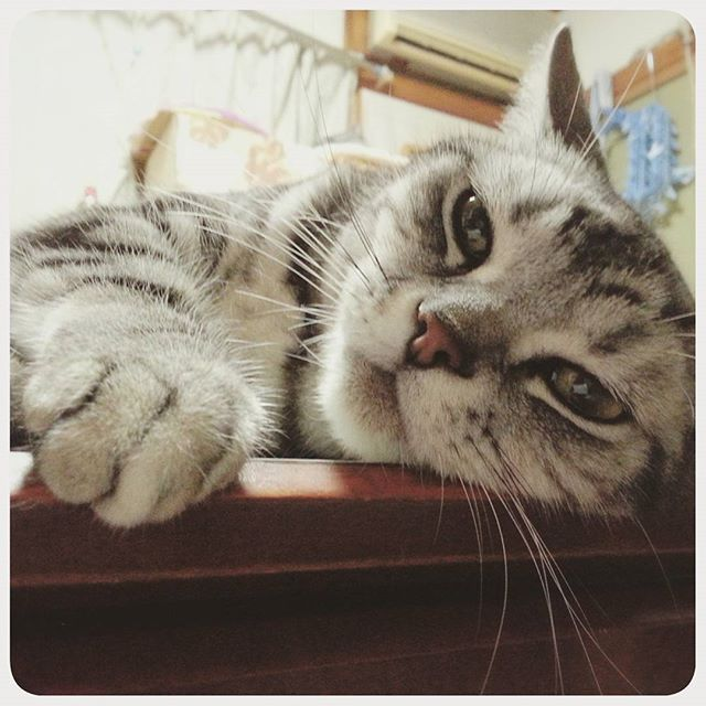 🐾 「おはようにゃ。 ・ 朝はパン♪ペロのパン♪」 ・ ・ Look at my cute paw. #ゴマパン祭 @yuka_tlさん主催♡ 🐾 #クリームパン祭  #朝はパン#ハッピーフライデー#脱力#愛猫#あめしょ#アメショ#アメ商会#にゃんこ#にゃんだふるらいふ#にゃんすたぐらむ#ねこ#ネコ#ねこら部#ペコねこ部#ねこ部#猫のいる暮らし#猫好き#happyfriday#shortbread#ilovecats#instacats#catsofinstagram#cats#americanshorthair#catpaws#paw#catlover