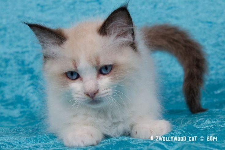 2014: Fillmore A Zwollywood Cat. 10 Weeks old Ragdoll kitten, seal bicolour. Cars litter.
