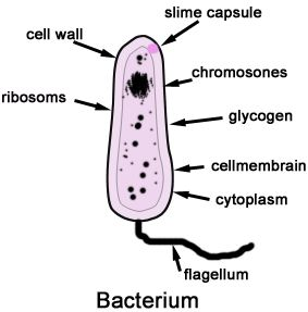 13 best microbiology images on pinterest microbiology labs and basic structure of a bacterium fandeluxe Images
