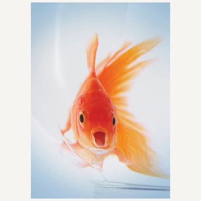 Goldfish #postcards