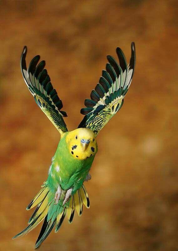 Parakeet in flight
