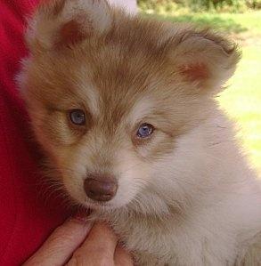 Mini Husky: Alaskan Klee Kai