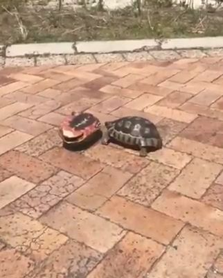 Turtle is Serving to the opposite turtle.