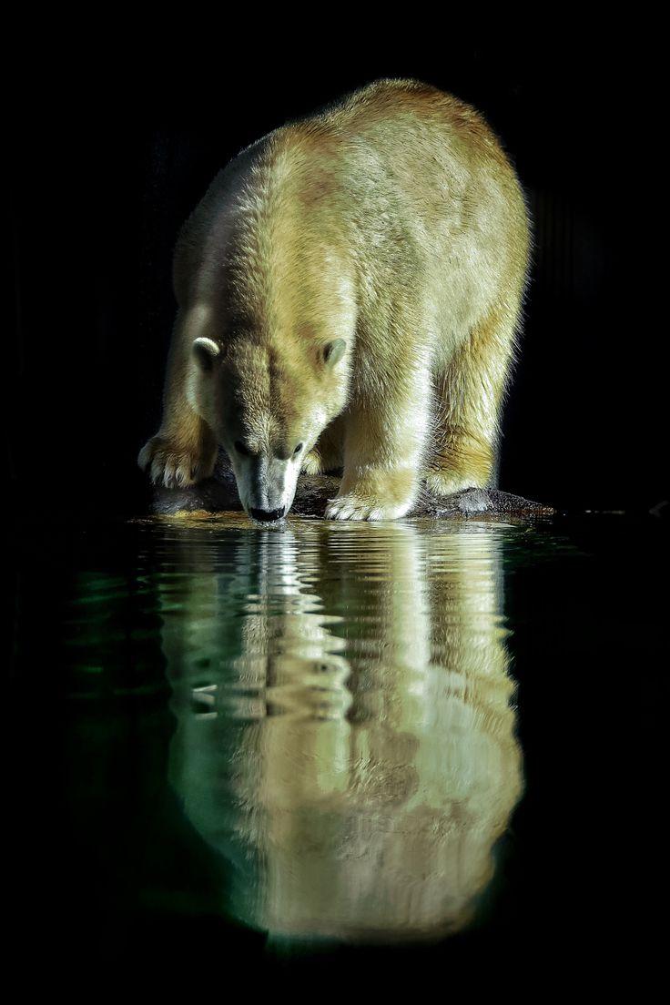 Polar Bear - Reflection - title Sediento en la noche (Spanish) to English 'Thirsty at night'. - by Karina Vera on 500px