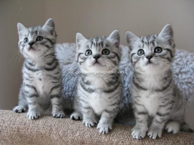 britse korthaar kittens blauw -  Zilveren Britse kort haar kittens