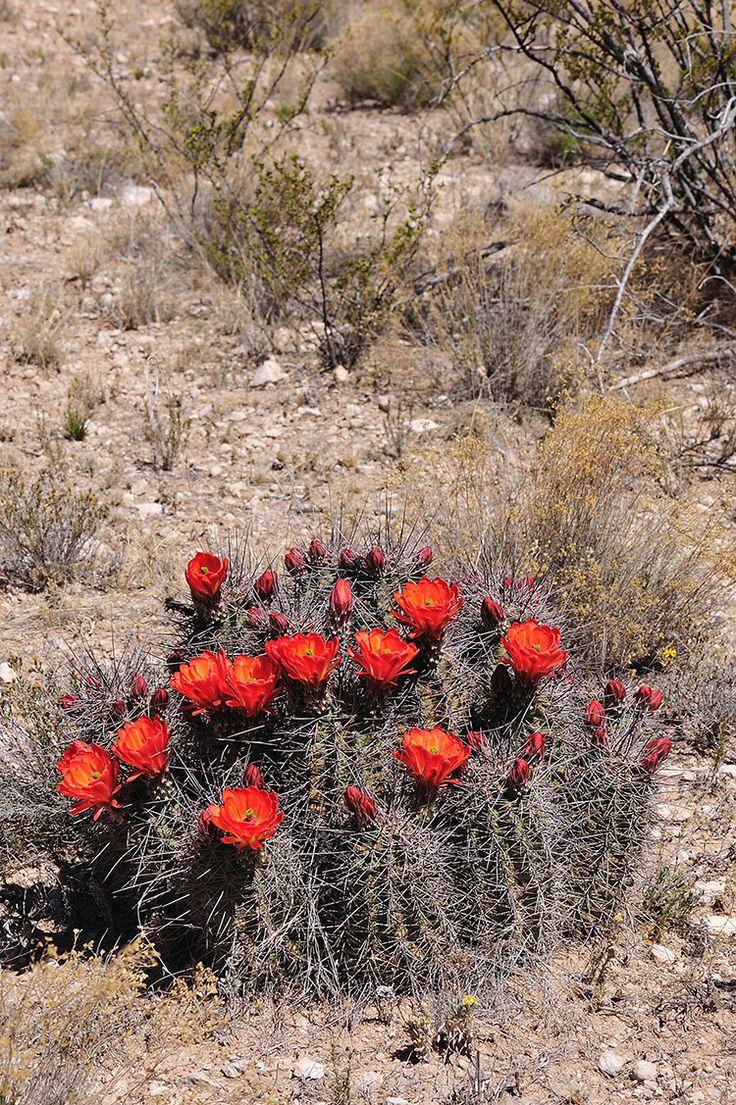 Echinocereus coccineus subsp. transpecosensis, USA, Texas, Hudspeth Co.  More Pictures at: http://www.echinocereus.de