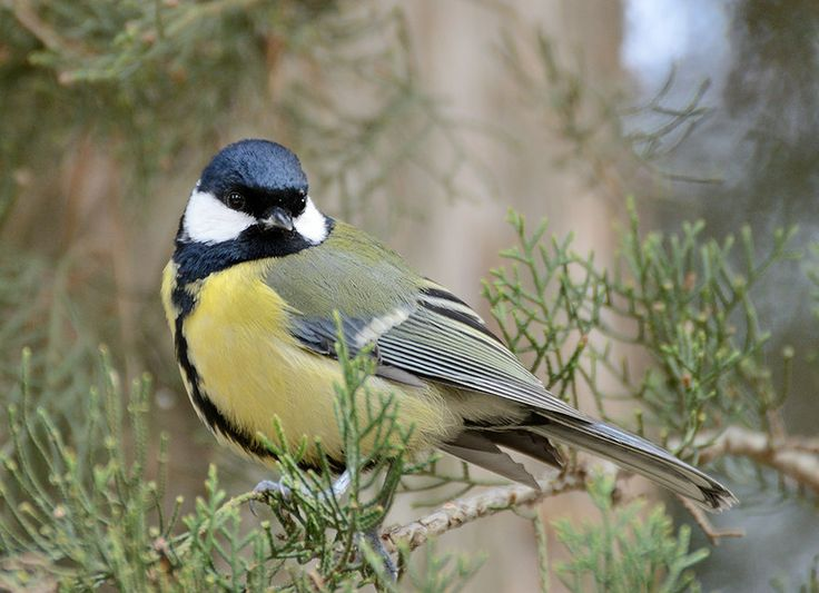 Great tit by corsuse on DeviantArt