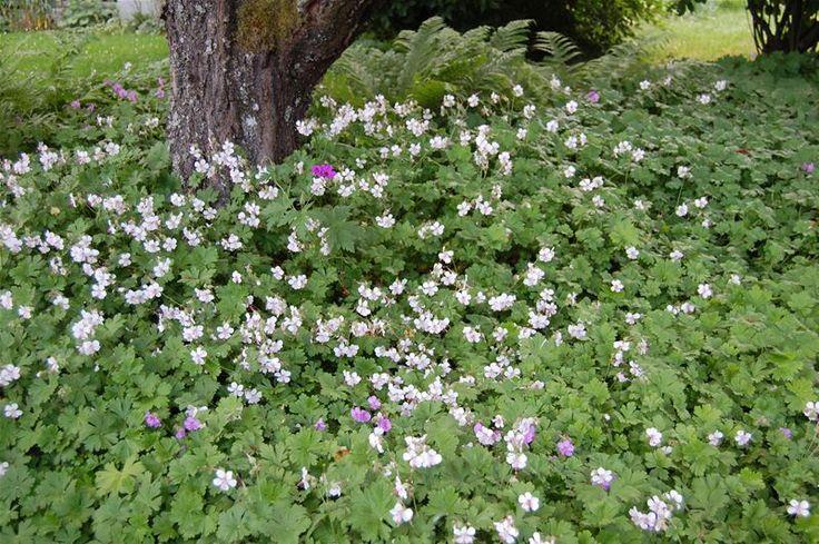 Liten flocknäva, Geranium cantabrigiense 'St Ola' (rosavit) och 'Karmina' (rosalila). Bild från Vegtech