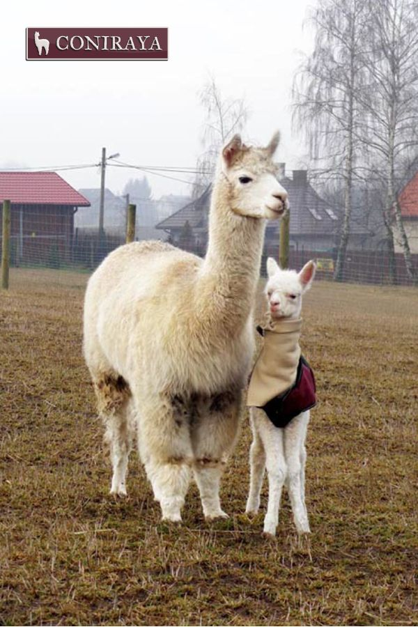 Mom, could I take off this thing? Please! Spring is coming ;) #alpacas #coniraya #alpakino #alpaca #spring #young