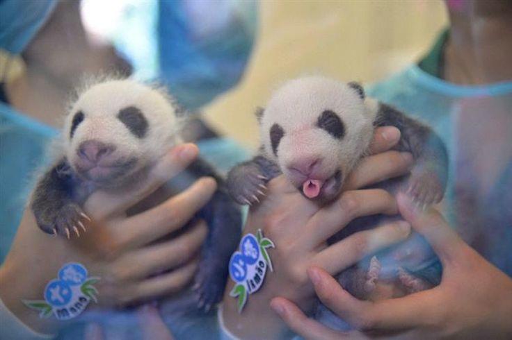 Dabao e Xiaobao, os dois pandas gigantes gémeos nascidos em Macau no mês de junho, já foram apresentados ao mundo.