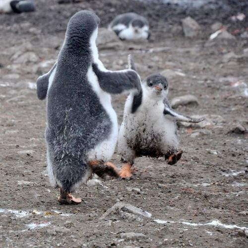 "Happy Feet - baby penguins............""come on baby lets rock"" x"