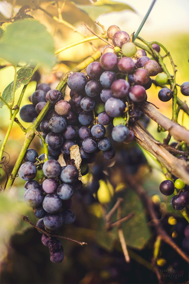 Harvest of home grown Concord Grapes