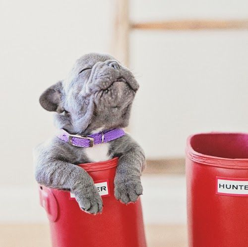 Blue Frenchie in a welly - CUTE!
