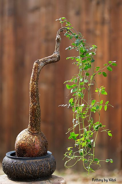 243 best keith kitoi taylor images on pinterest for Rare bonsai species