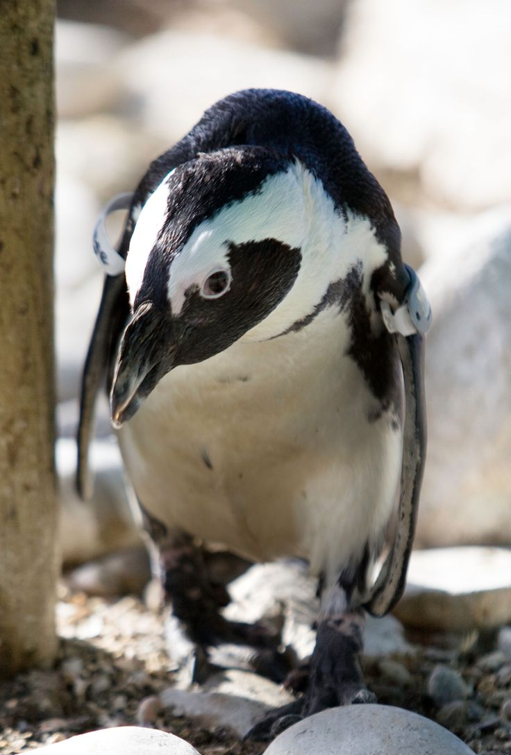 Bandage, one of our permanent residing penguins