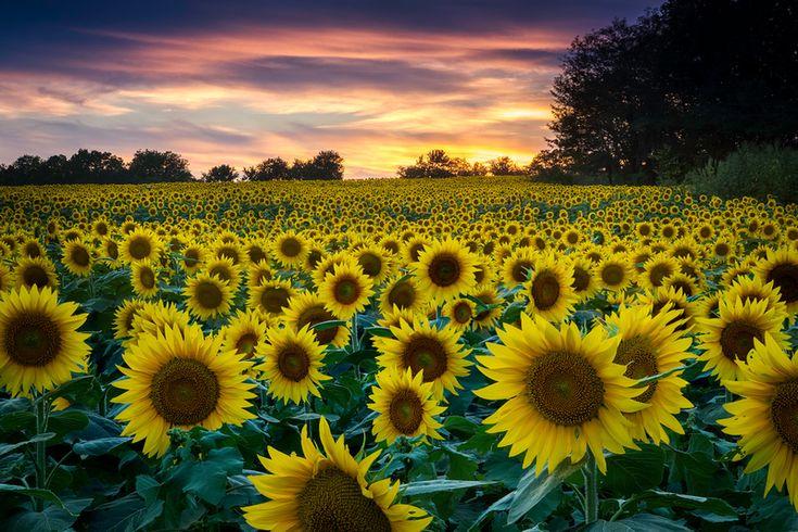#137 Sunflower Fields Forever - FM Forums