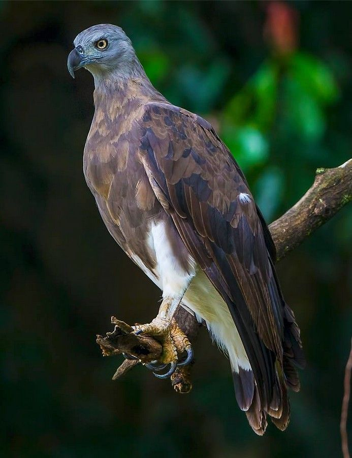 Pygargue à tête grise // Grey-headed Fish Eagle -