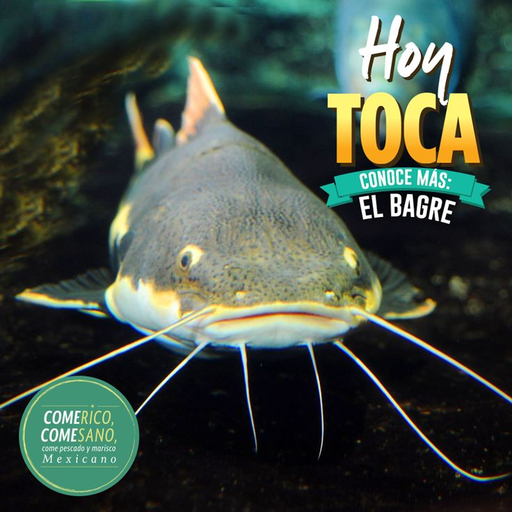 M s de 25 ideas incre bles sobre pez gato en pinterest for Peces de agua fria para consumo humano