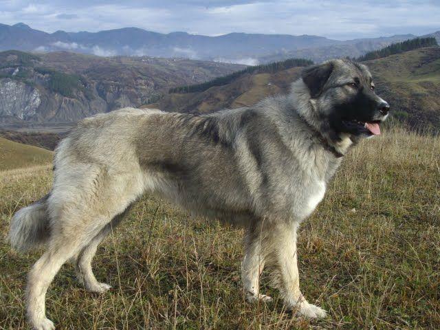Carpathian Shepherd dog photo | Add photos Carpathian Shepherd dog in the mountains in your blog:
