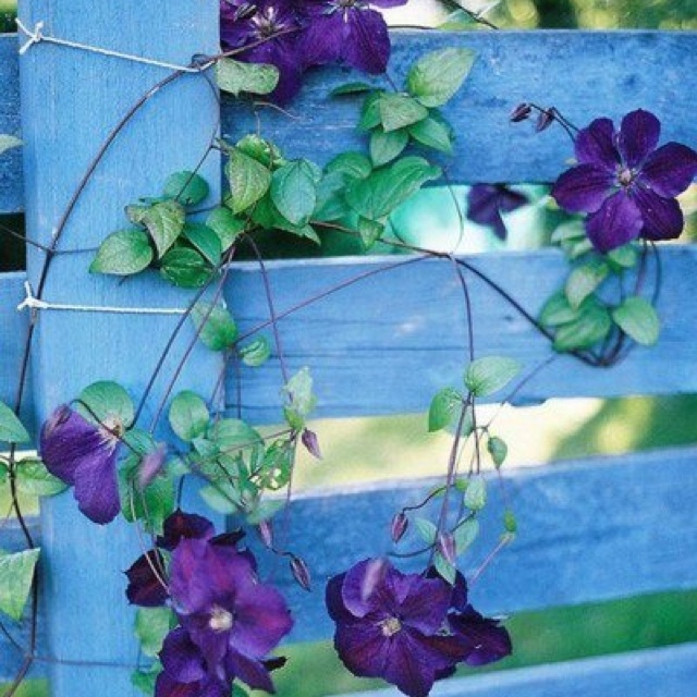 Morning...Glory :-) | Flowers & Bulbs | Pinterest | Morning glories ...