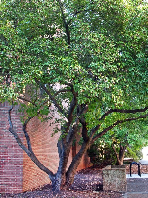 Trees for small spaces pinterest for Trees for small places