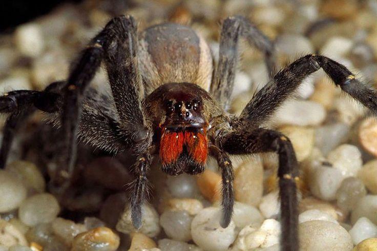 Brazilian Wandering Spider, do get bit! -Tony C.