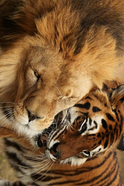 Lion and tiger cute animals friends cats tiger wild stripes lion feline