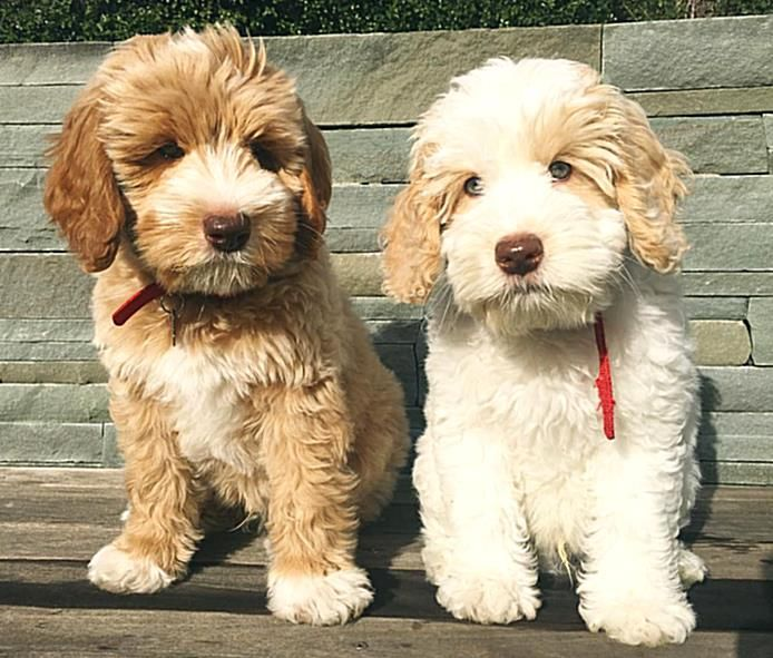 Dont Let Allergies Hold You Back There Are Dogs That Accommodate Your Sniffles In 2020 Hypoallergenic Dog Breed Dog Breeds Medium Best Dog Breeds
