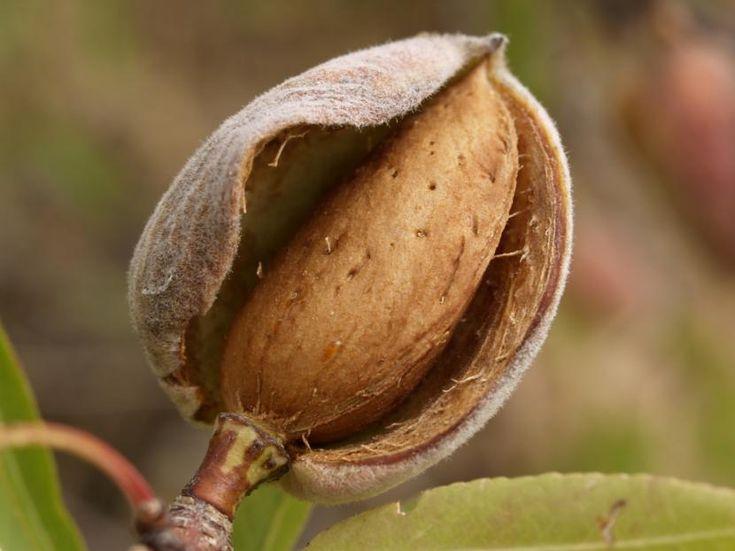 Principales variedades de almendros - http://www.jardineriaon.com/principales-variedades-de-almendros.html #plantas