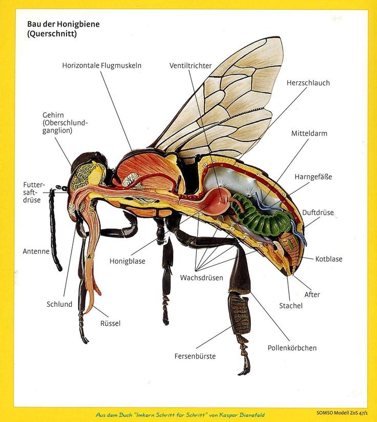 Lovely Bau der Honigbiene Apis mellifera GlaubeEinfachHonigElementeBienen SchuleGartenBienenzuchtBiologie