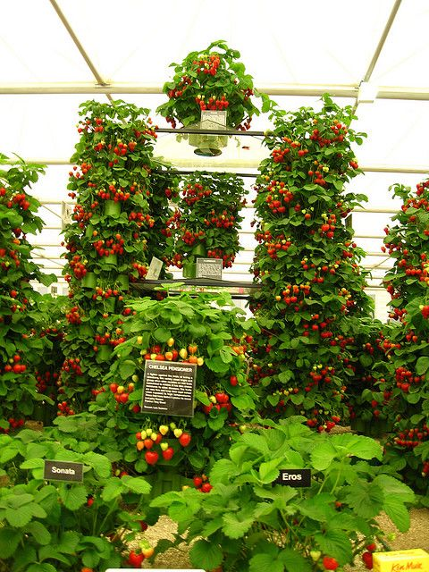strawberries, grown vertically