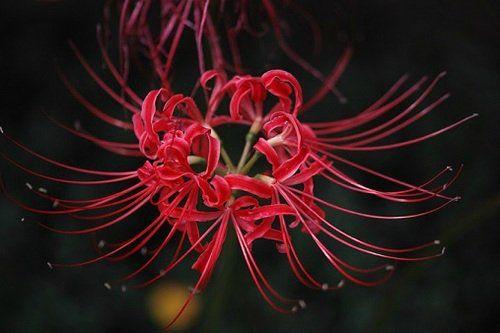 хиганбана, манджушагэ, паучья лилия... — 薔薇餓鬼乙女の日記
