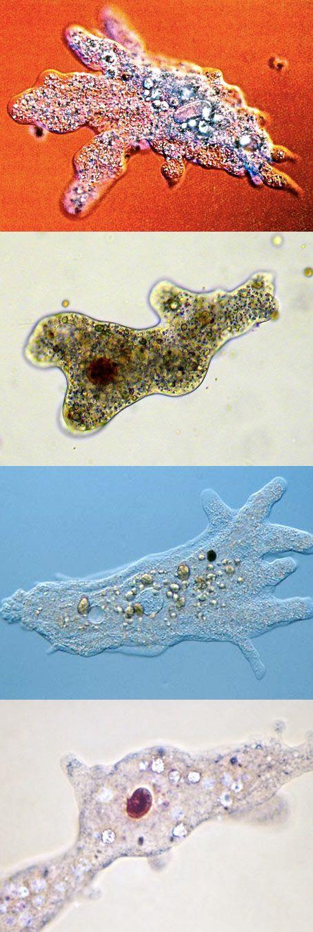 Celulas eucarionte protista