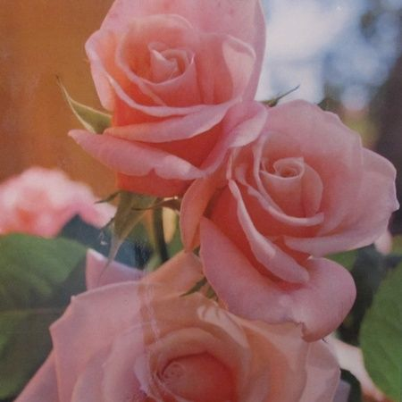 Saint Mary MacKillop Rose Available from June to August each year. Online Store  