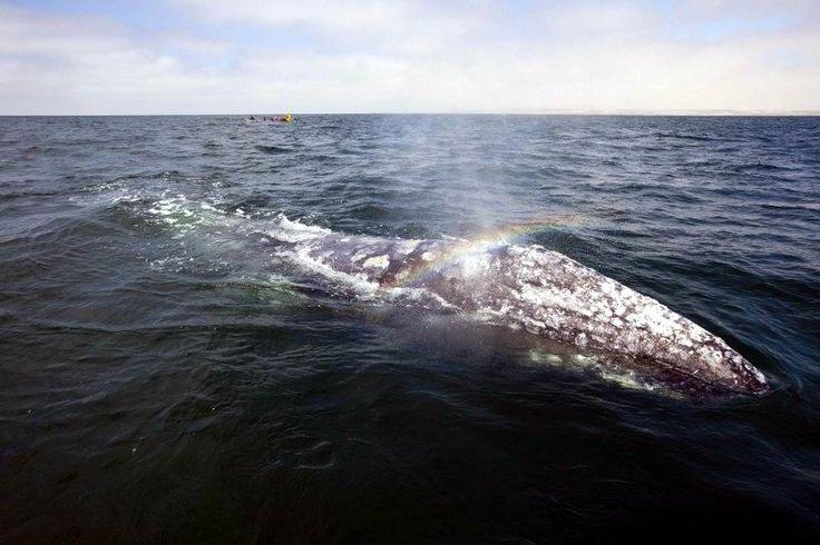 Temporada de avistamiento de ballena gris 2014-2015
