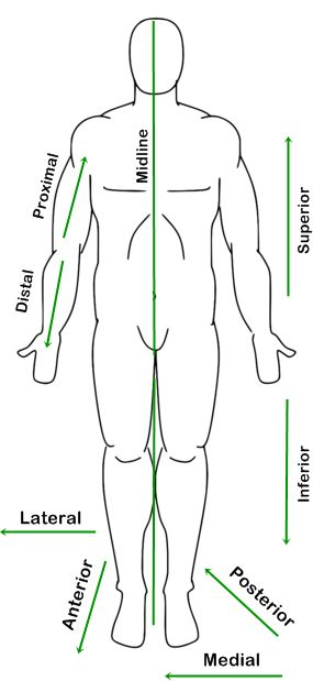 human figure diagram in anatomic position with labeled reference arrows showing…