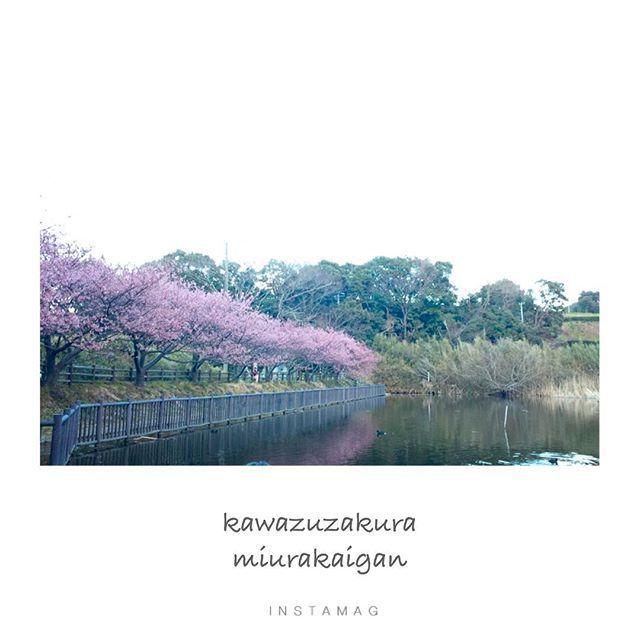 【coralsand.reika】さんのInstagramをピンしています。 《🌸河津桜🌸 ・ ・ ・ #河津桜#三浦海岸#桜まつり#お散歩#池#鯉#桜#さくら#満開に近づいてきた♡#見頃#春#まだ寒いけど#暖かくなるのももう少し#花#花が好き#花が咲く#菜の花も綺麗でした》