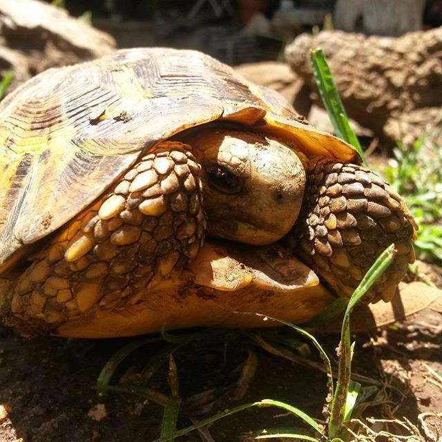 Stunning Leopard Tortoise after the rain Photo Credit: Chantelle Terblanche