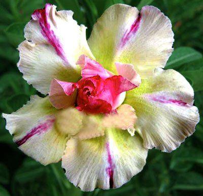 Desert Rose (Adenium Obesum) 'Yellow Dream'