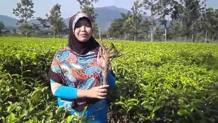 Benalu teh asli khasiat manfaat obat kanker kista miom harga  jual