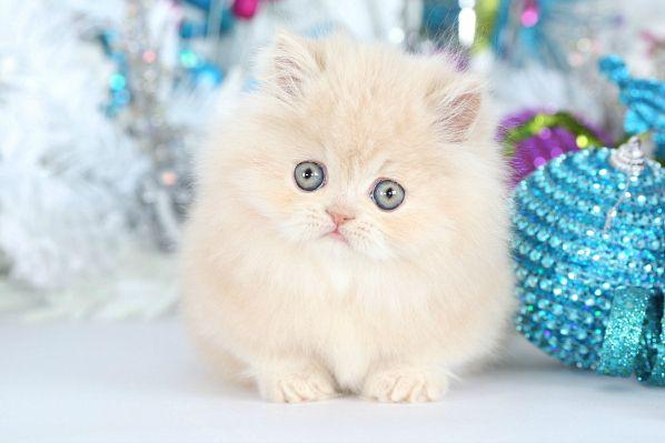 Cream Rug Hugger Persian Kitten