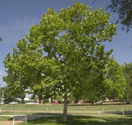 1000 ideas about fastest growing trees on pinterest fast growing trees growing tree and fast - Fastest growing ornamental trees ...