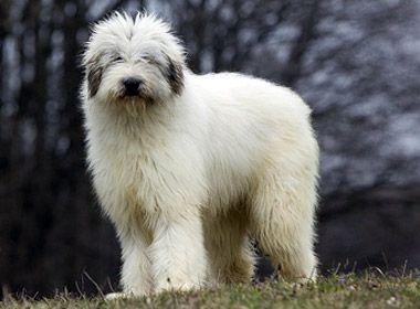Dogs and Romania: Mioritic