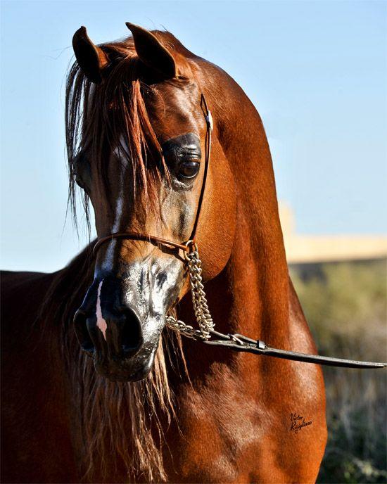 Ames Charisma « Brookville Arabians: Arabian Stallion ...