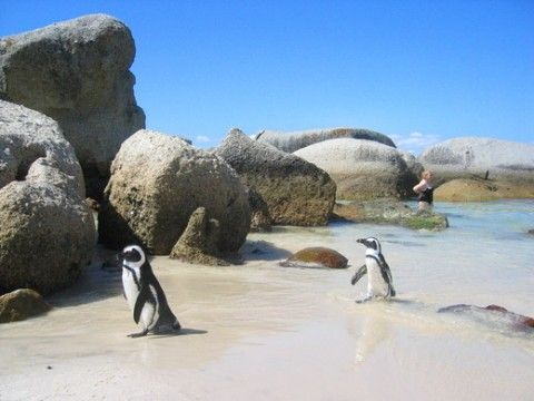 One of my favorite beaches!! Boulder Beach in Cape Town, South Africa
