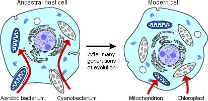 Hypothesized origin of mitochondria and chloroplasts