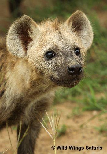An inquisitive hyena pup.